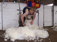 See sheep being shorn on Orrie Cowie